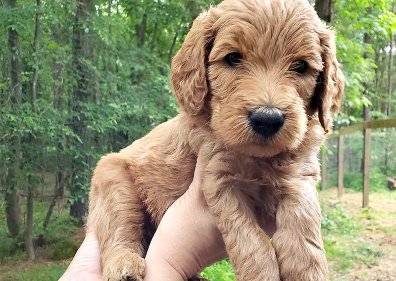 Home Raised Goldendoodle Puppies For Sale Peters Puppies